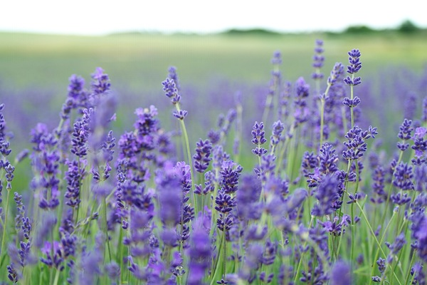 Lavender is a sweet smelling alternative filling for pincushions.